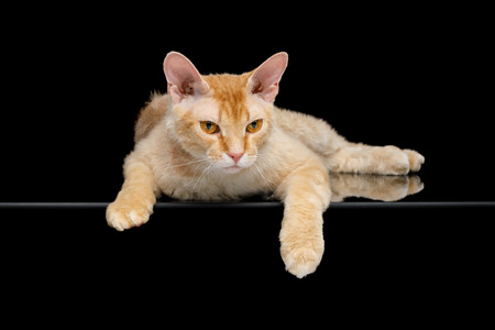 Haired Ginger Sphynx Cat Lying on mirror, Isolated Black background Imagens