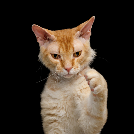 Portrait of Playful Haired Ginger Sphynx Cat play with paw on Isolated Black background