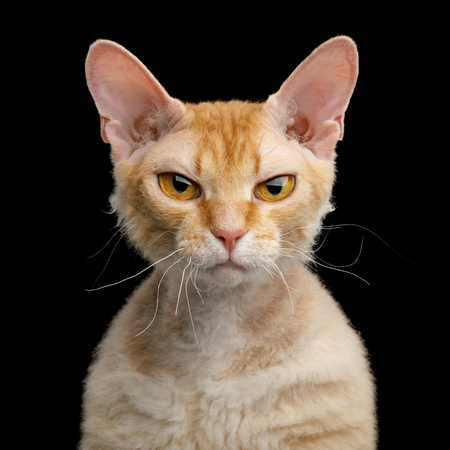Portrait of Angry Haired Ginger Sphynx Cat Gazing on Isolated Black background
