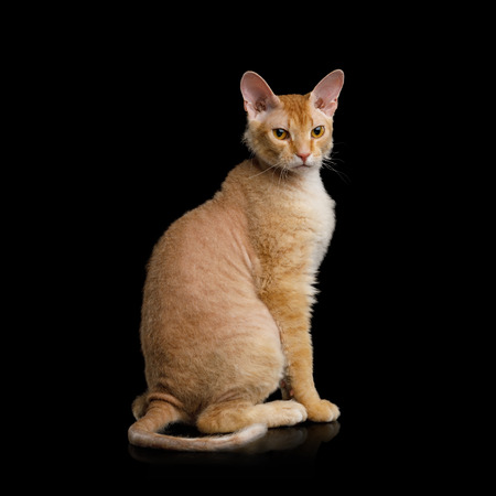 Cute Haired Ginger Sphynx Cat Sitting Looking with interest on Isolated Black background, back view