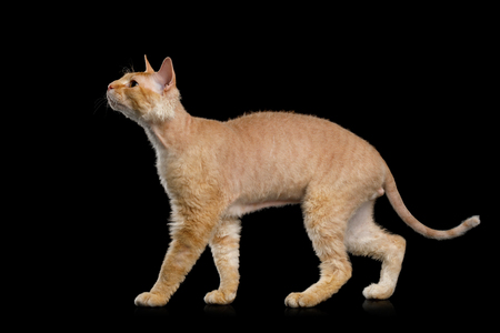 Haired Ginger Sphynx Cat Standing and Looking up with interest on Isolated Black background, side view