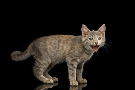 Meowing Tortoise Fur Kitten Standing and Yelling with big eyes on Isolated Black Background