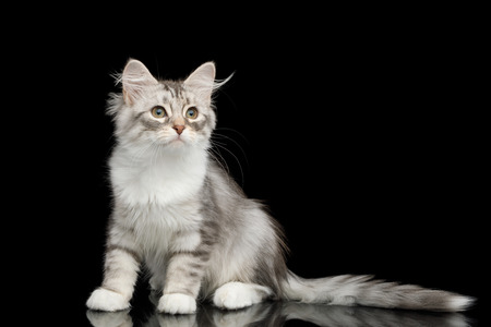 Silver Tabby Siberian kitten with furry coat sitting and Looking at side on isolated black background with reflection, front view Stock Photo
