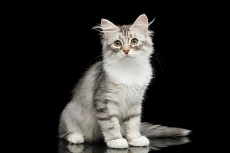 Silver Tabby Siberian kitten with furry coat sitting and stare on isolated black background with reflection, front view Banco de Imagens - 106871686