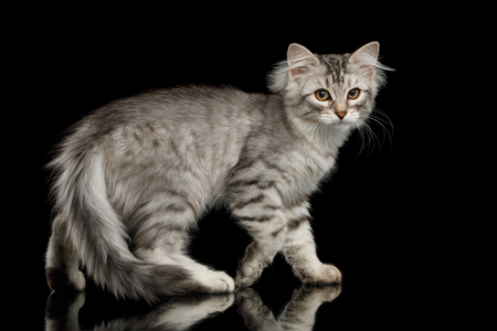 Walking Silver Siberian kitten with furry coat Standing and Looking in camera on isolated black background with reflection