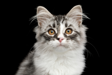 Portrait of Silver Siberian kitten with furry coat Looking in camera on isolated black background Stock Photo