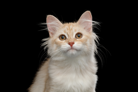 Portrait of Ginger Siberian kitten with furry coat Looking in camera on isolated black background Stock Photo