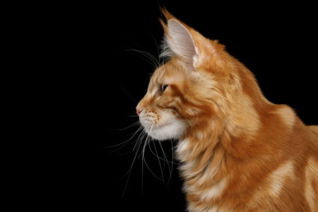 Portrait of Young Ginger Maine Coon Cat Isolated on Black Background, Profile view