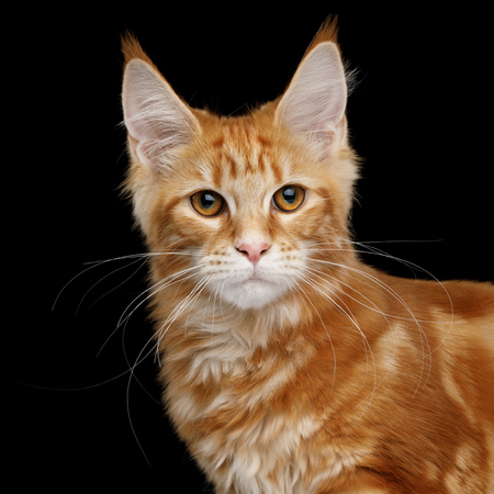 Portrait of Young Ginger Maine Coon Cat Looking in Camera Isolated on Black Background, Front view
