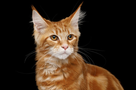 Portrait of Young Ginger Maine Coon Cat Isolated on Black Background, Front view Stock Photo