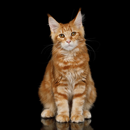 Young Ginger Maine Coon Cat Sitting and Looking in Camera Isolated on Black Background, Front view
