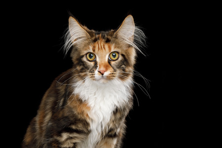 Portrait of Young Maine Coon Cat Sitting and Curious Looking in Camera Isolated on Black Background, Front view Stock Photo - 106838058