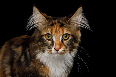 Close-up Portrait of Young Maine Coon Cat Sitting and Curious Looking in Camera Isolated on Black Background, Front view Stock Photo