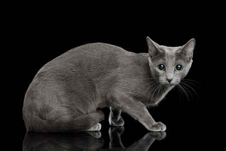 Russian blue Cat Sitting, and Looks scared on Isolated Black Background, side view Stockfoto