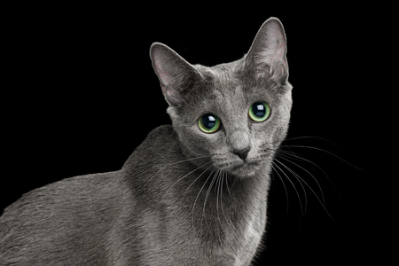 Funny Portrait of Russian blue Cat with big Green eyes, Looks Curious on Isolated Black Background, side view