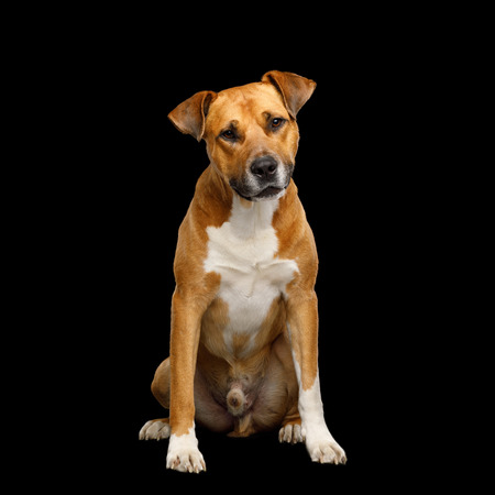 Obedient Red Dog Sitting and Curious Looking Isolated on Black Background
