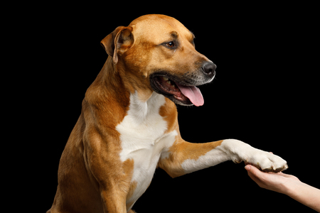 Portrait of Red Dog gives paw to human Isolated on Black Background