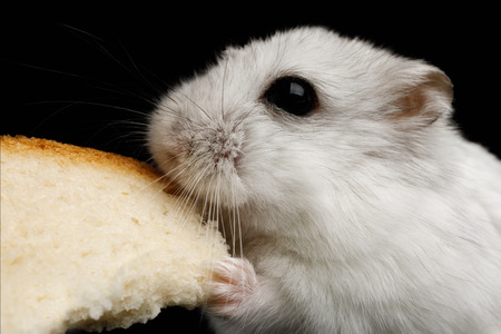 Close-up White Hamster eating bread Isolated on Black Background Stockfoto