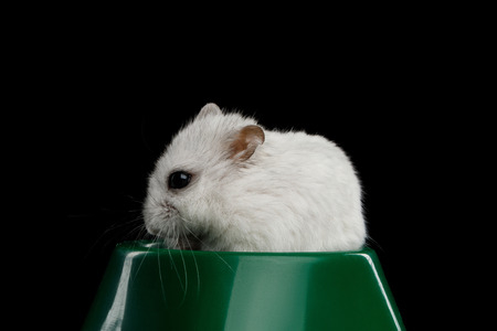 Close-up White Hamster sitting in green bowl Isolated on Black Background Stockfoto