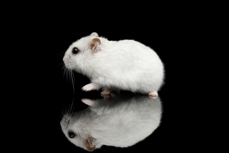 Little White Hamster sitting Isolated on Black Background with Reflection