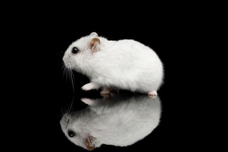 Little White Hamster sitting Isolated on Black Background with Reflection Reklamní fotografie - 108161837