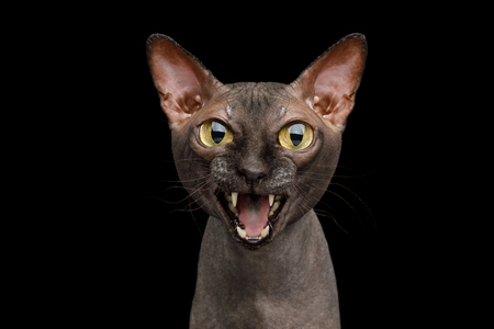 Funny Portrait of Angry Sphynx Cat Gazing and Meow, Isolated on Black Background, front view 版權商用圖片
