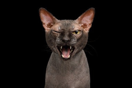 Funny Portrait of Talking Sphynx Cat, Wink and Meow, Isolated on Black Background, front view