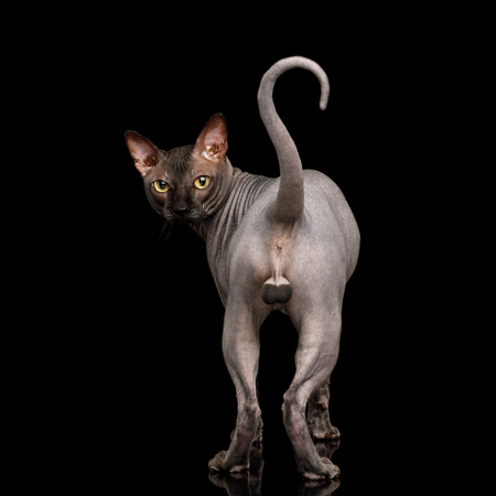 Funny view of Sphynx Cat standing and stare back with tail like question sign, Isolated on Black Background