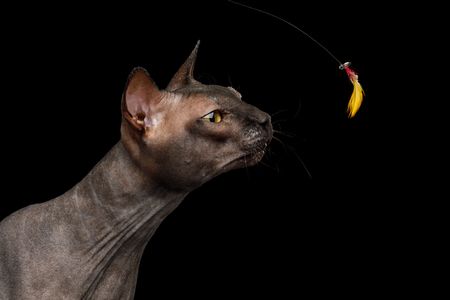 Portrait of Sniffing Sphynx Cat reaching head to toy, Isolated on Black Background, profile view
