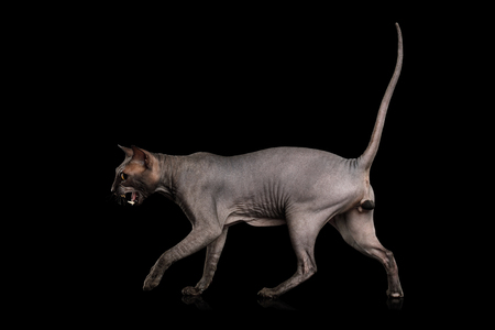 Sphynx Cat Walking and Meowing, Isolated on Black Background, side view Stock Photo