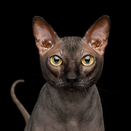 Adorable Portrait of Sphynx Cat with tail Gazing, Isolated on Black Background, front view