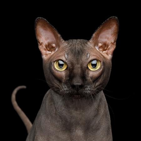 Adorable retrato de gato Sphynx con cola mirando, aislado sobre fondo negro, vista frontal Foto de archivo