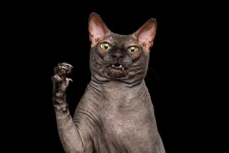 Divertido retrato de gato Sphynx curioso, mantenga la pata con cara de asombro, se ve desagradable, aislado sobre fondo negro, vista frontal