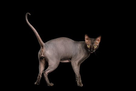 Sphynx Cat Standing and meowing, Looking back, on isolated black background