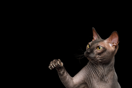 Portrait of Playful Sphynx Cat, Gazing and catching paw Isolated on Black Background, profile view