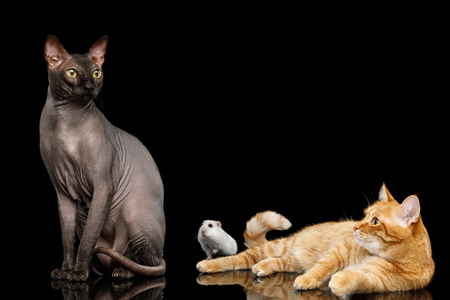 Sphynx Cat with Ginger Stock Photo