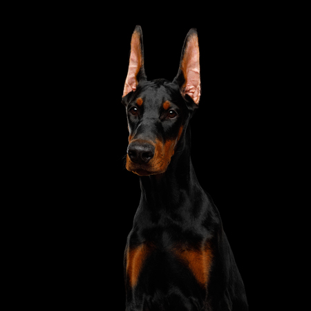 Serious Portrait of Doberman purebred Dog, obidient wait., isolated Black background Banque d'images - 114598051