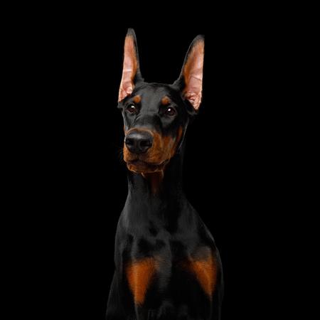 Serious Portrait of Doberman purebred Dog, obidient wait., isolated Black background Banque d'images - 114598053