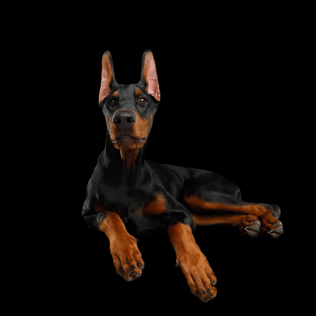 Adorable Doberman Dog, Obidient Lying with paws and Looking up, isolated Black background, front view