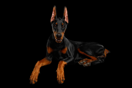 Adorable Doberman Dog, Obidient Lying with paws and Looking in Camera, isolated Black background, front view