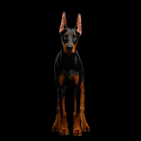 Doberman Dog, Obidient Standing and Looking in Camera., isolated Black background, front view
