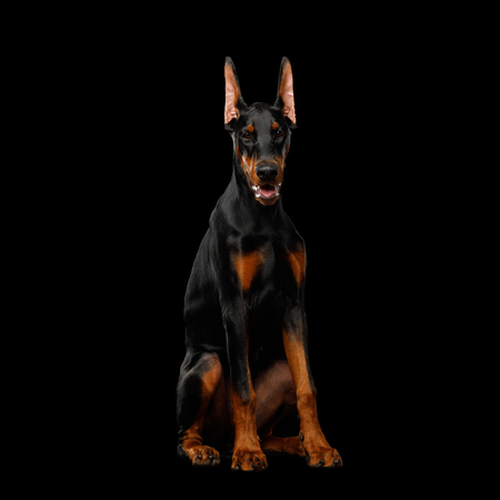 Doberman Dog, Obidient sitting and Looking in Camera., isolated Black background, front view