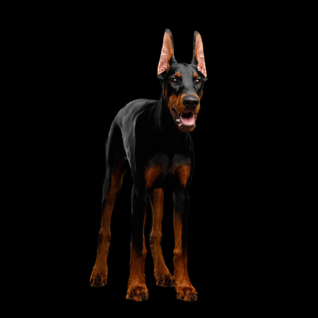 Doberman Dog, Obidient Standing and Looking for, isolated Black background, front view Stock Photo