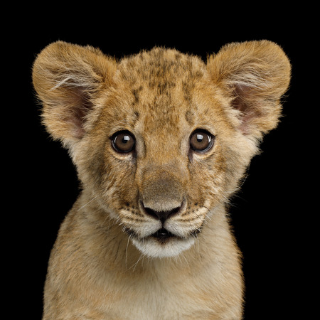 Ritratto di Lion Cub guardando nella fotocamera isolata su sfondo nero, vista frontale