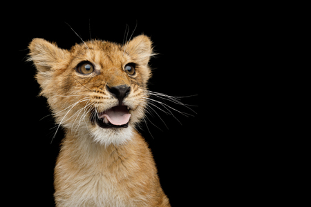 Funny Portrait of Lion Cub with opened mouth like dog showing tongue Isolated on Black Background, front view Stock Photo