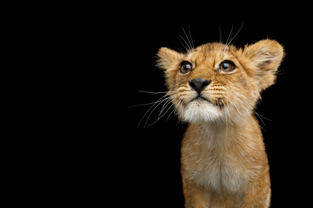 Portrait of Cute Lion Cub With Curious face looking for Isolated on Black Background, front view
