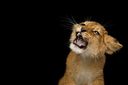 Portrait de Lion Cub avec sourire visage sifflement isolé sur fond noir