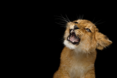 Ritratto di cucciolo di leone con la faccia sorridente che sibila isolato su sfondo nero