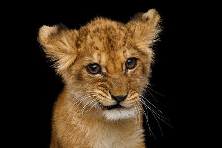 Divertente ritratto di simpatico cucciolo di leone con faccia curiosa isolato su sfondo nero, vista frontale