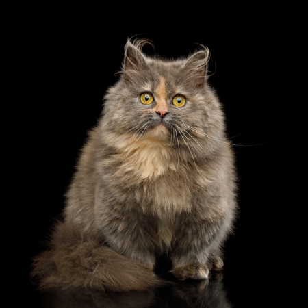 Short Munchkin Cat tortoise fur Sitting and Looking in Camera on Isolated Black background
